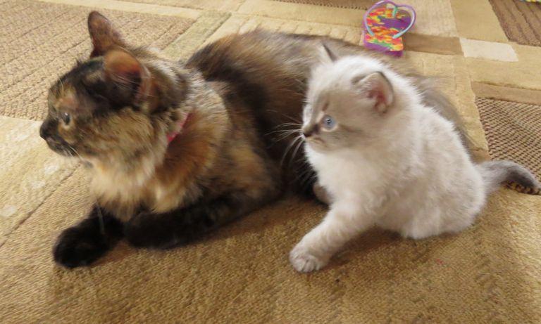 Cat Breeders In Nh