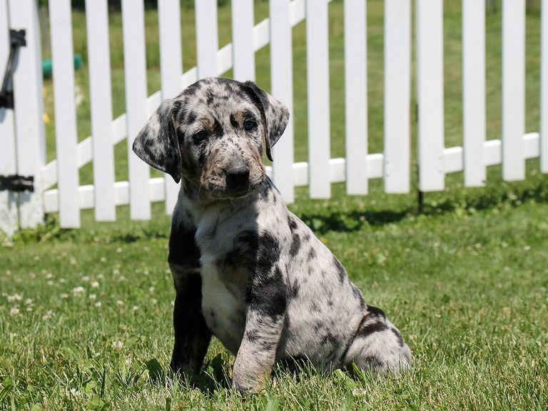 Catahoula Breeders Georgia Top Dog Information