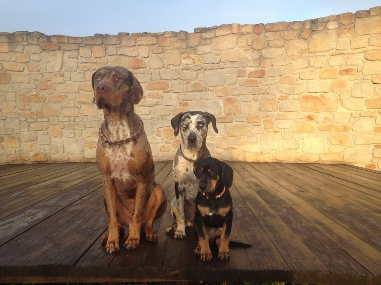 Catahoula Leopard Dog Size