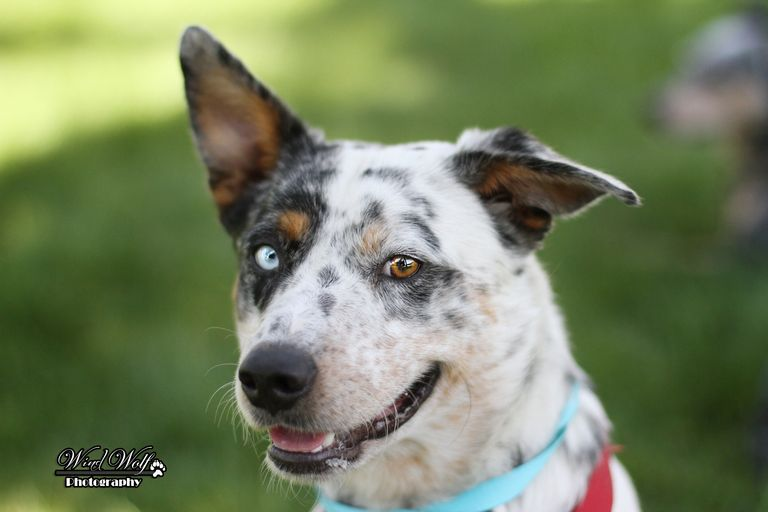 Cattle Dog Rescue