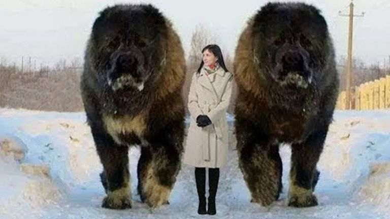 Caucasian Shepherd Dog Dangerous Dogs