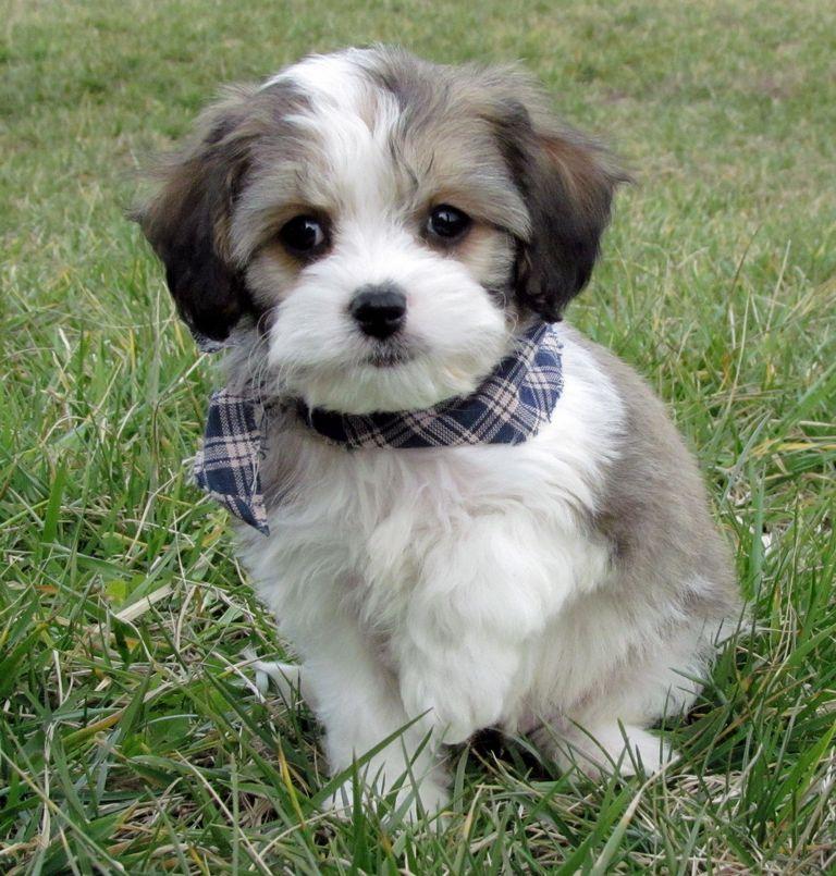 Cavachon Puppies For Sale In Ohio