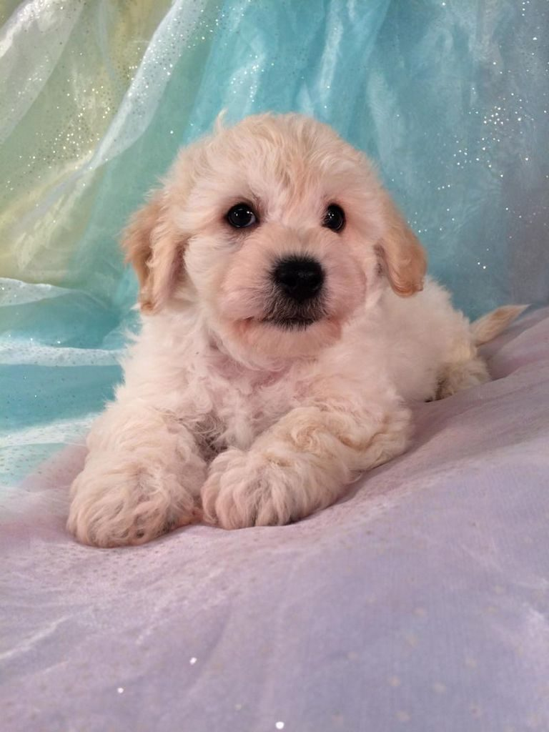 Cavachon Puppies For Sale In Wisconsin