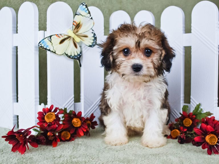 Great Cavachon Puppies! Dog Breeders