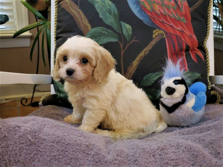 Cavachons Available