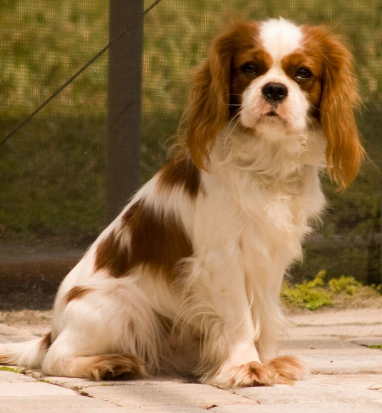 Cavalier King Charles Spaniel Emotional Support Dogs
