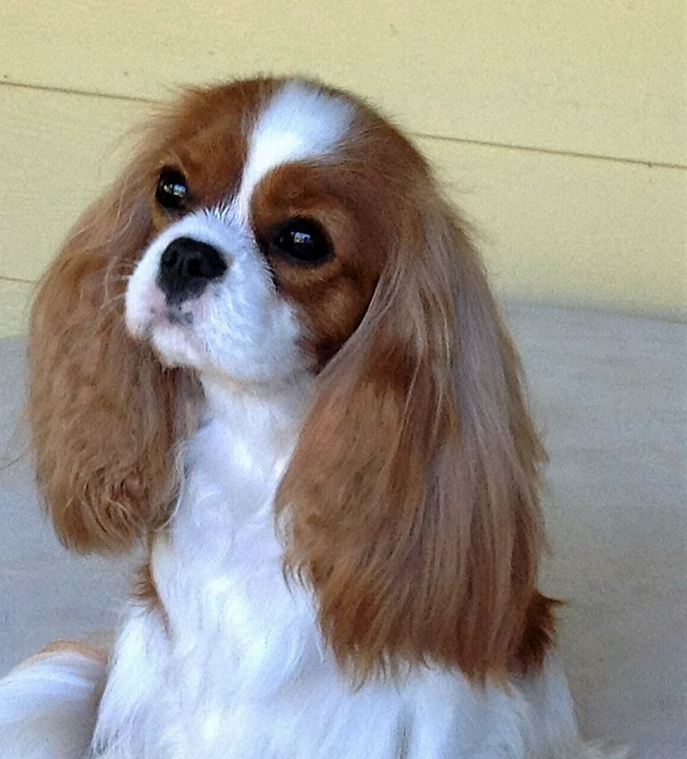 Cavalier King Charles Spaniel Seattle