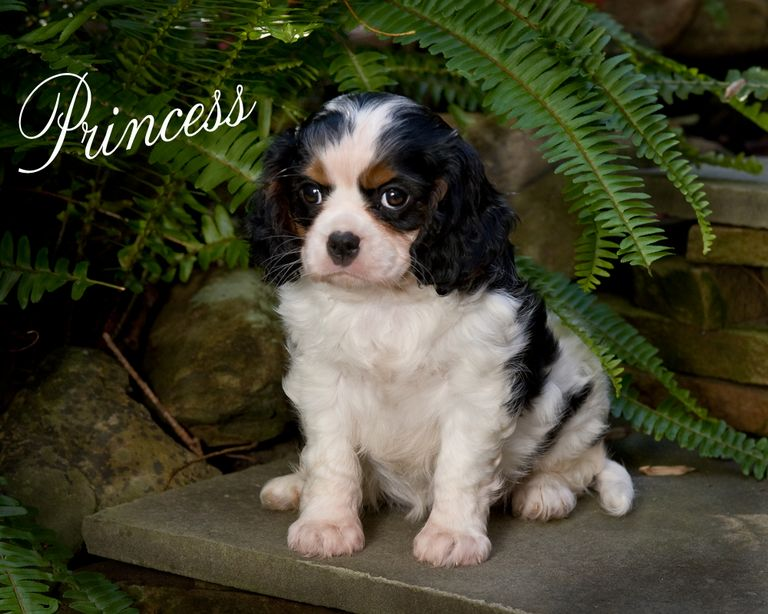 Cavalier Puppies For Sale Mn