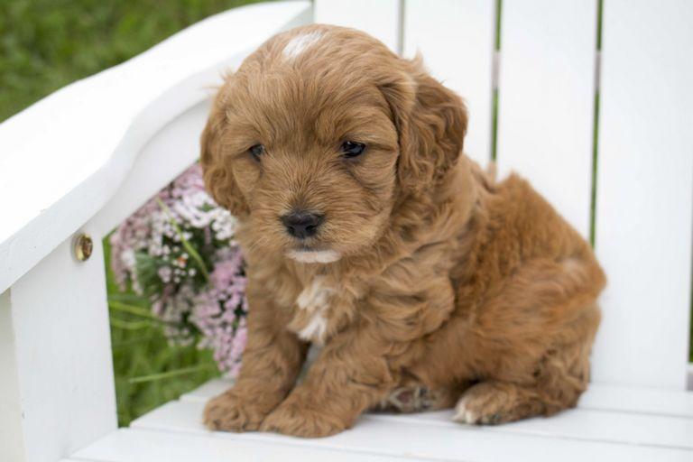 Cavapoo Breeders Nebraska Top Dog Information