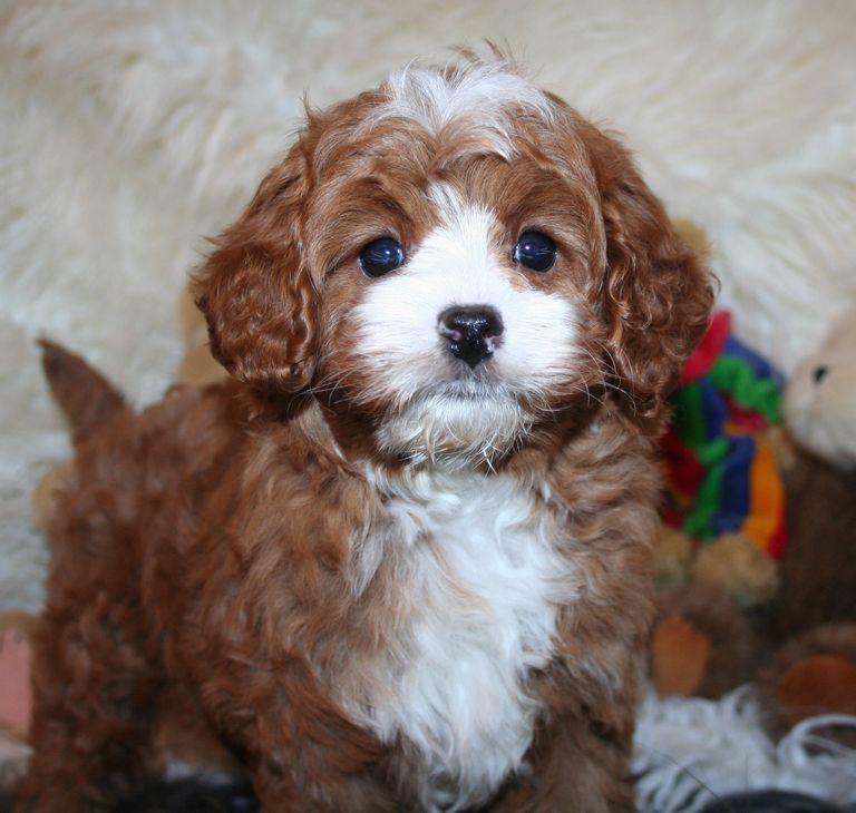 Cavapoo Puppies Arizona | Top Dog Information