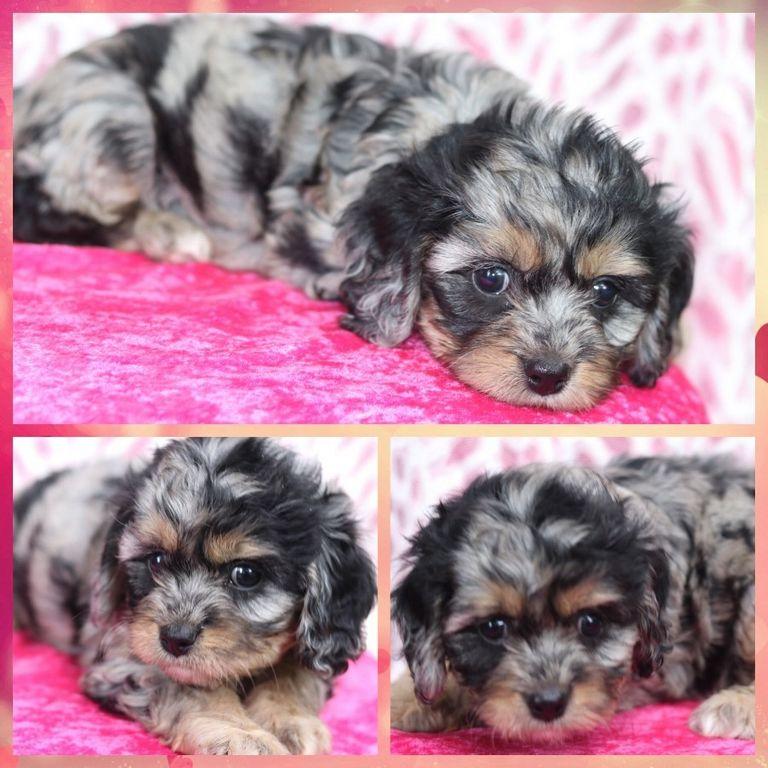 Cavapoo Puppies Brainerd Mn