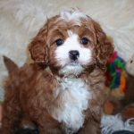 Cavapoo Puppies California