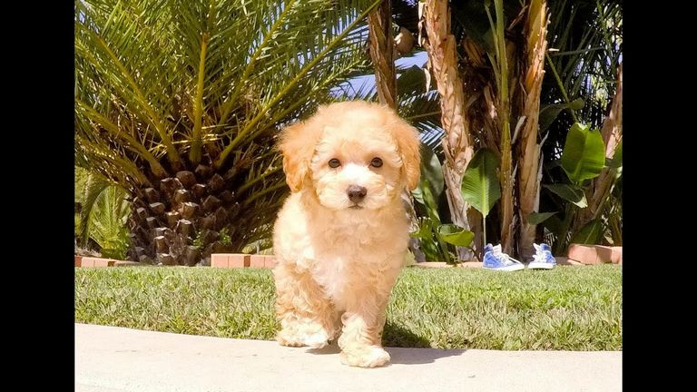Cavapoo Puppies For Adoption