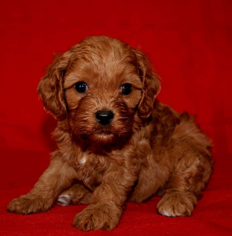Cavapoo Puppies For Sale In Iowa | Top Dog Information