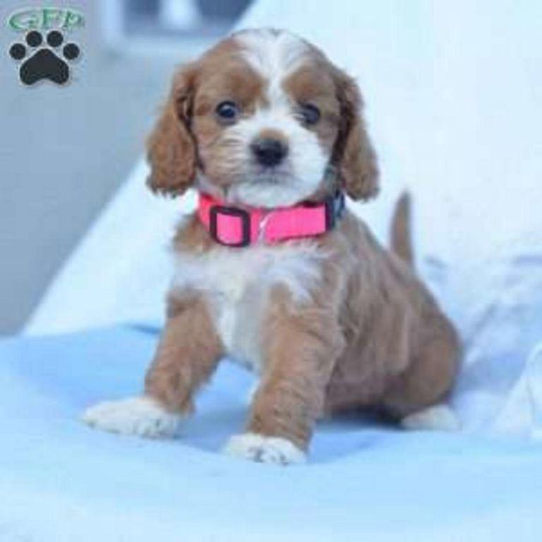 Cavapoo Puppies In Ohio