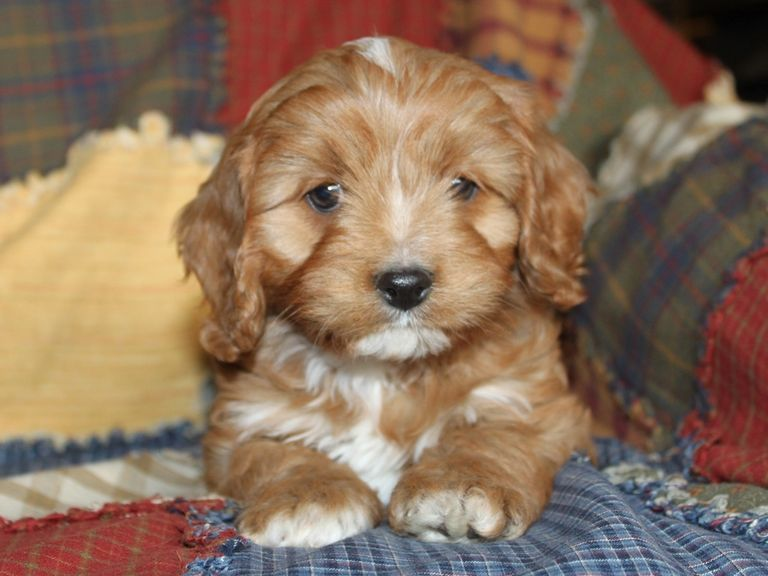 Cavapoo Puppies In Tennessee