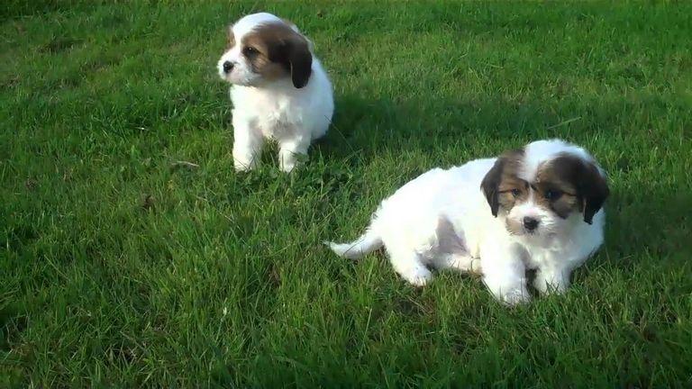 Cavaton Puppies