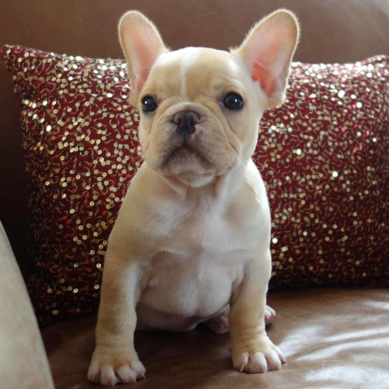 Champion French Bulldog Puppies