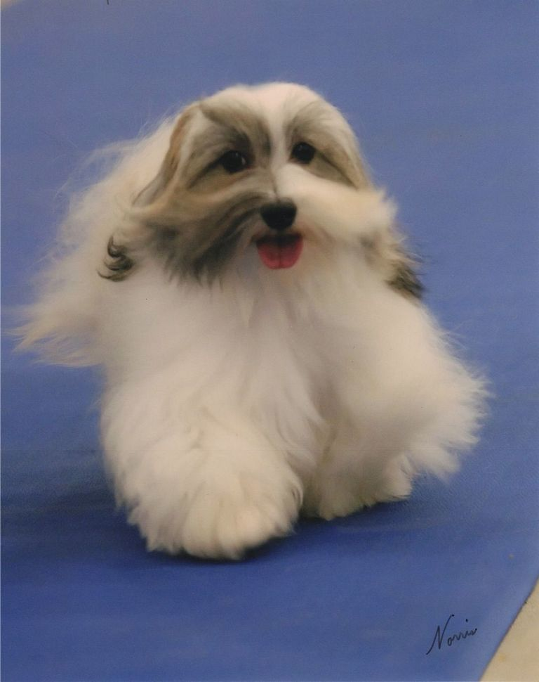 Champion Havanese Breeders