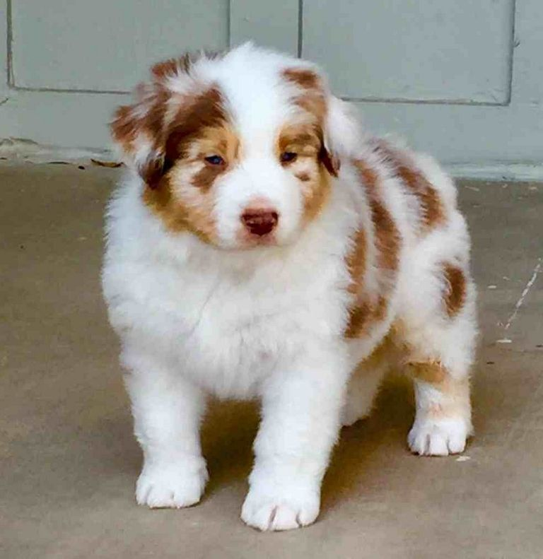 Cheap Australian Shepherd Puppies For Sale