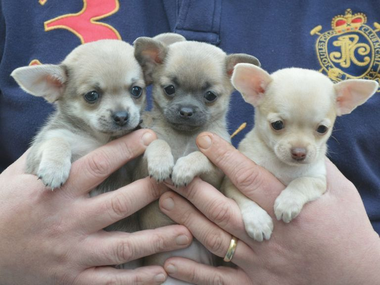 Cheap Chihuahua Puppies For Sale