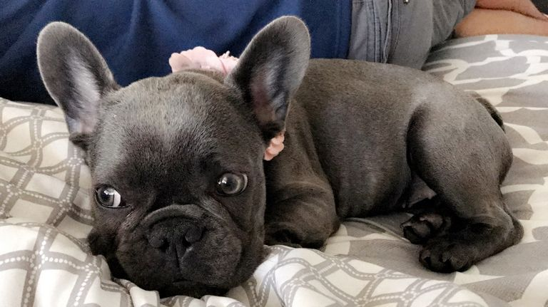 Cheap French Bulldogs For Sale In Illinois