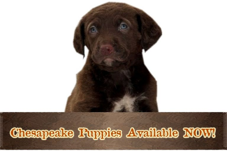 Chesapeake Bay Retriever Puppies California