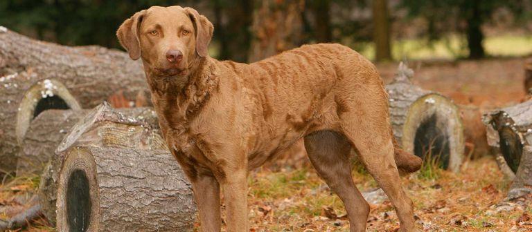 Chesapeake Bay Retriever Puppies For Sale California