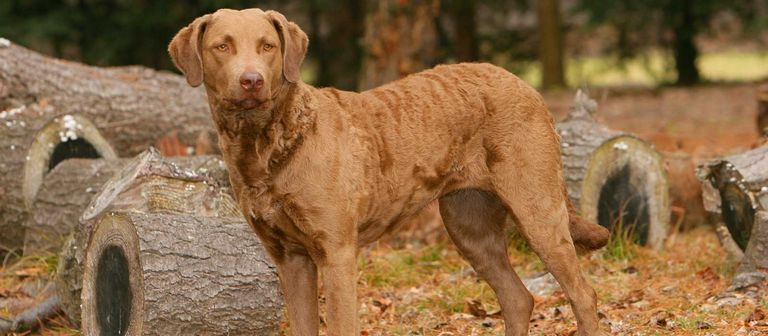 Chesapeake Bay Retriever Puppies For Sale In Ny