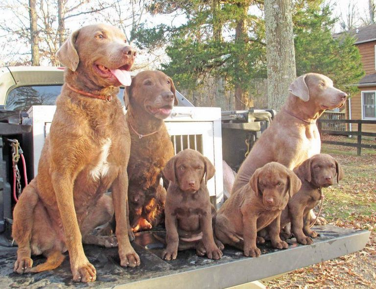 Chesapeake Bay Retriever Puppies Oklahoma