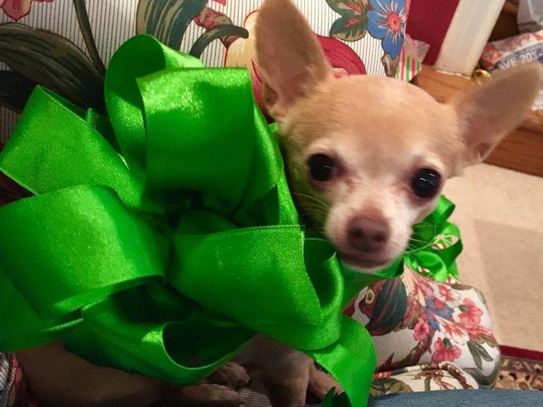 Chihuahua 31034