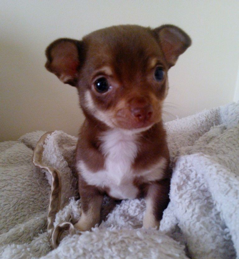 Chihuahua Puppies For Sale Chico Ca