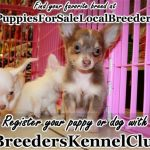 Chihuahua Puppies For Sale In Douglasville Ga