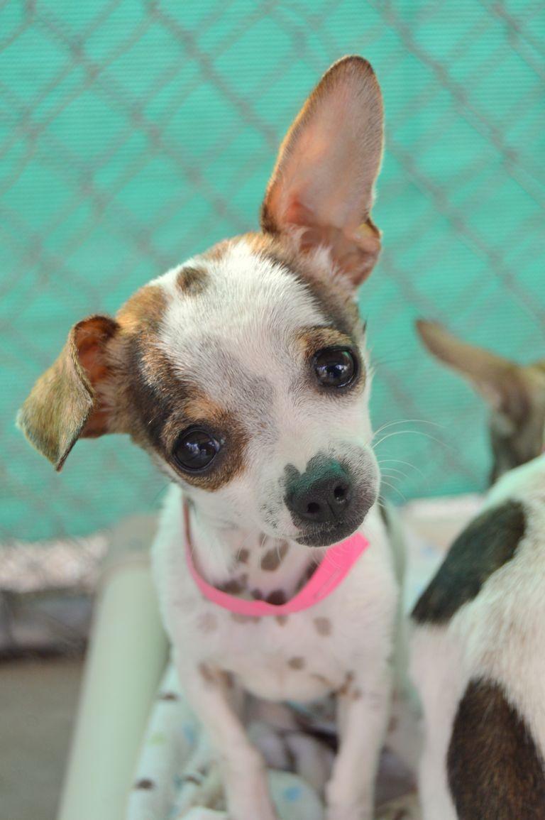 Chihuahua Rescue Fresno Ca