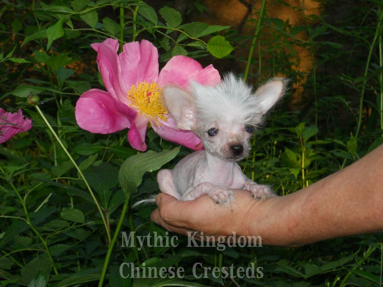 Chinese Crested For Sale Indiana