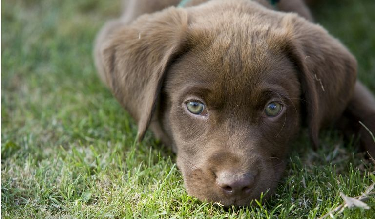 Chocolate Lab Rescue Puppies