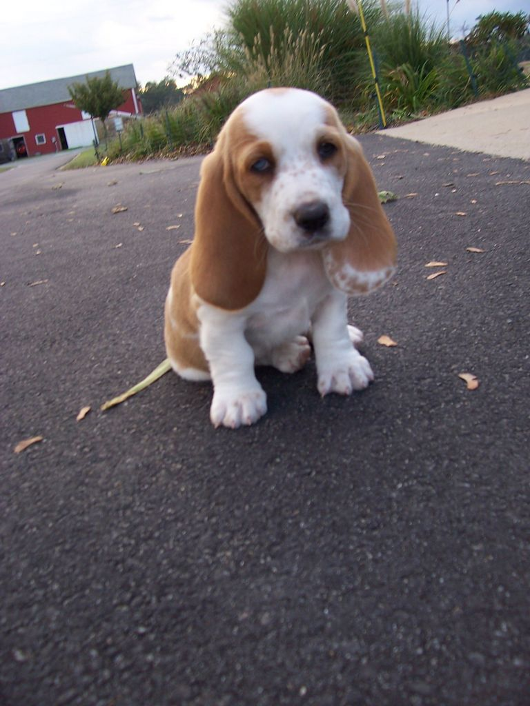 Clearview Farms Bassets