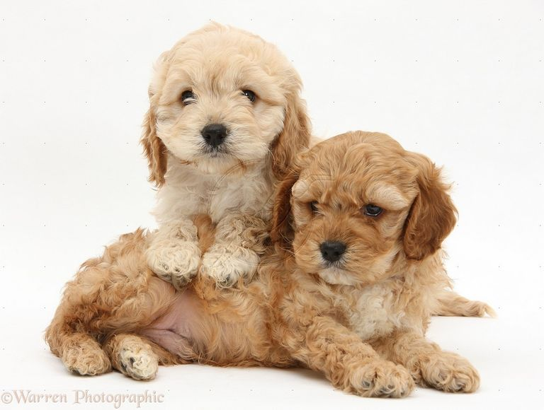 Cockapoo Breeders Ct