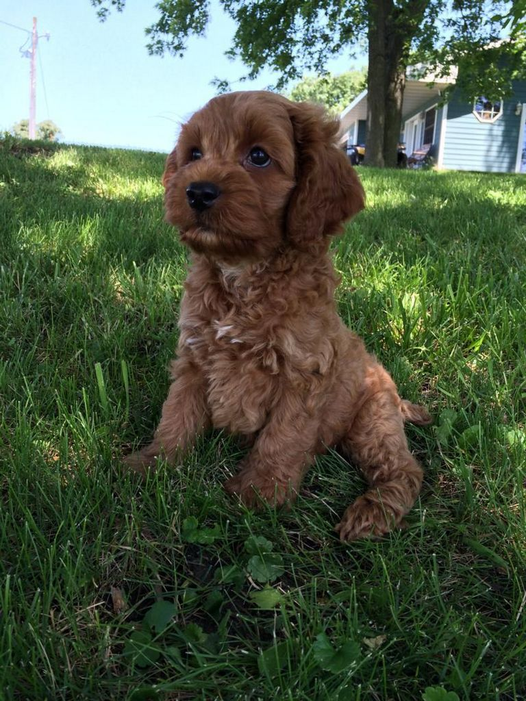 Cockapoo Breeders Wisconsin