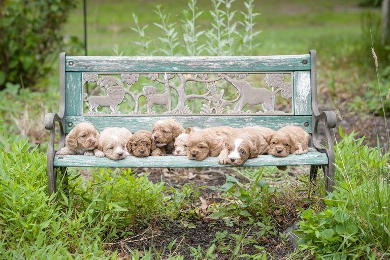 Cockapoo Puppies Az