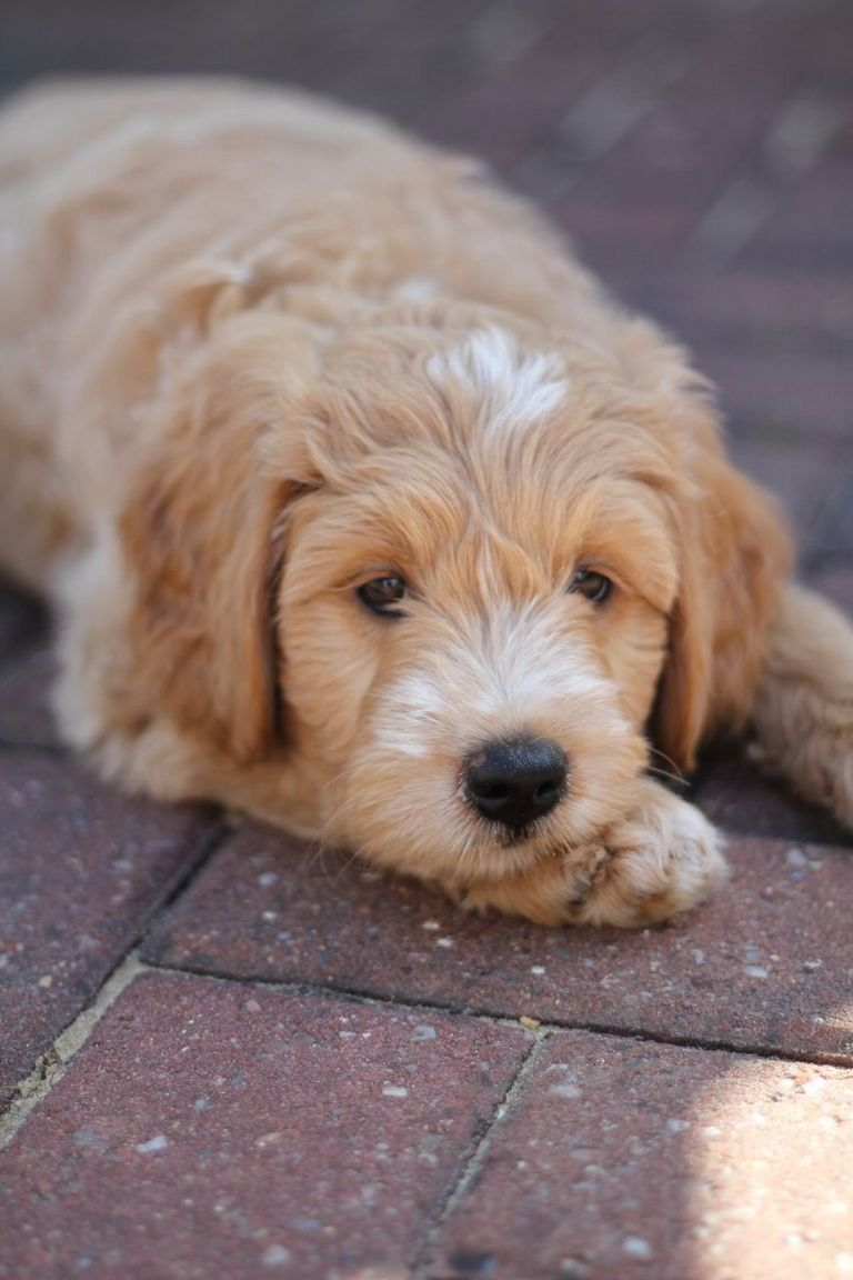 Cockapoo Puppies Des Moines Iowa