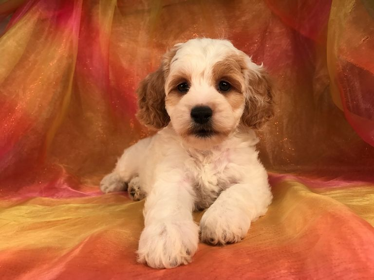 Cockapoo Puppies For Sale In Iowa