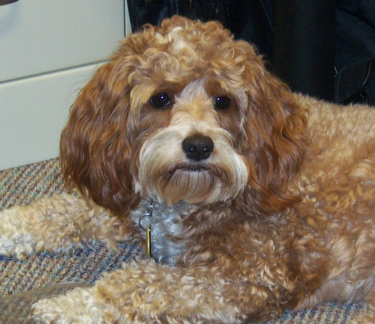 Cockapoo Puppies For Sale In Nc Cheap