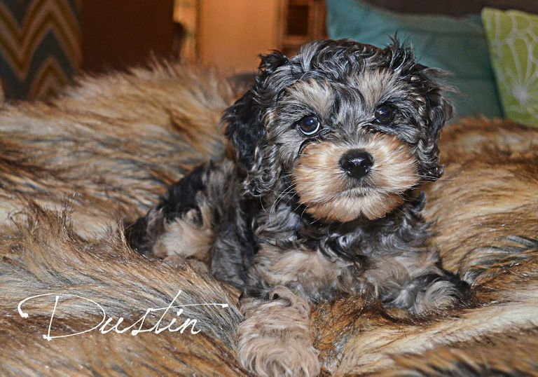 Cockapoo Puppies For Sale In Ohio Michigan | Top Dog ...