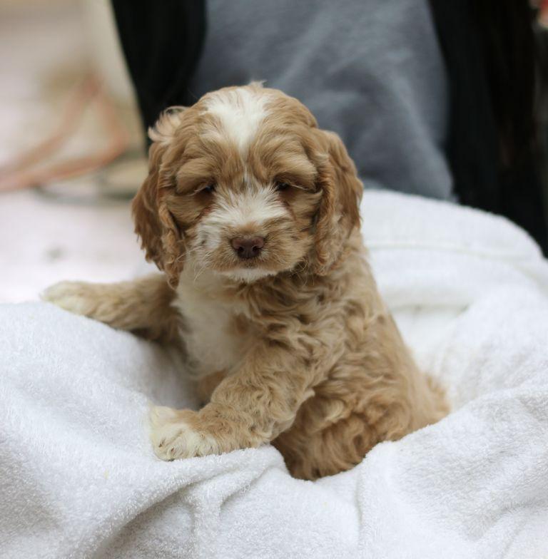 Cockapoo Puppies Syracuse Ny | Top Dog Information