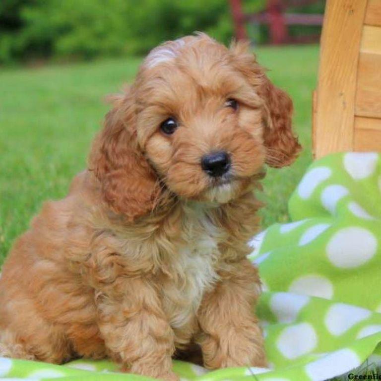 Cockapoo Puppies West Virginia