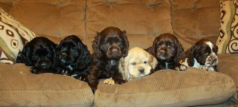 Cocker Spaniel Puppies For Sale In Ga