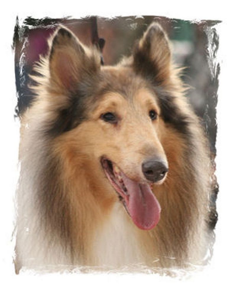 Collie Rescue Florida