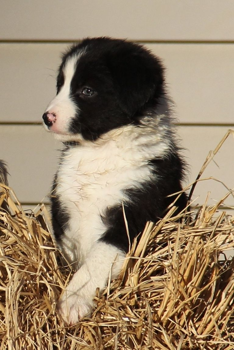 Collies For Sale Or Adoption In Indiana