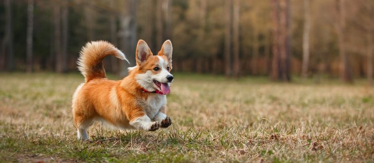 Corgi Breeders Ct